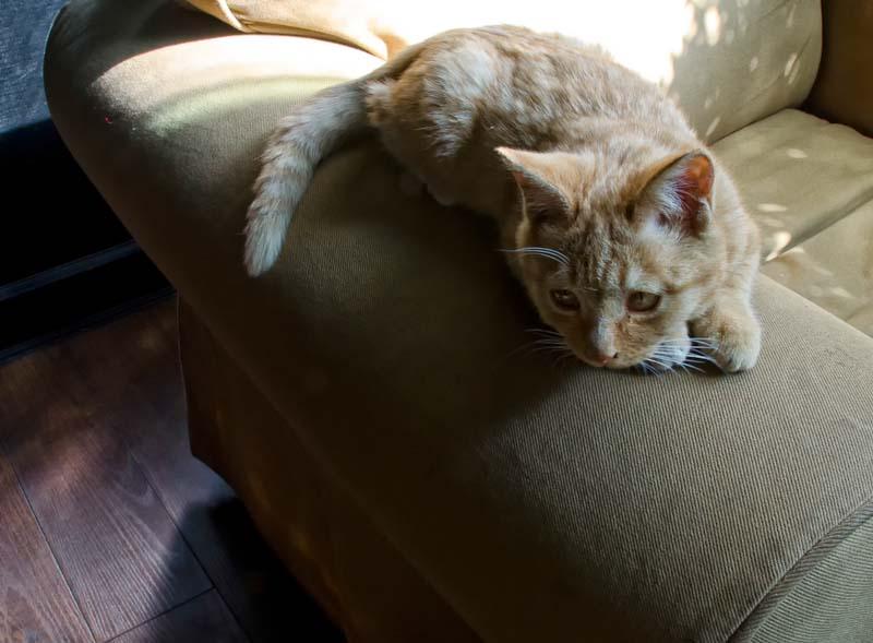 Lhasa Cat