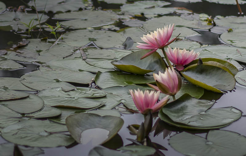 China Water Lilies