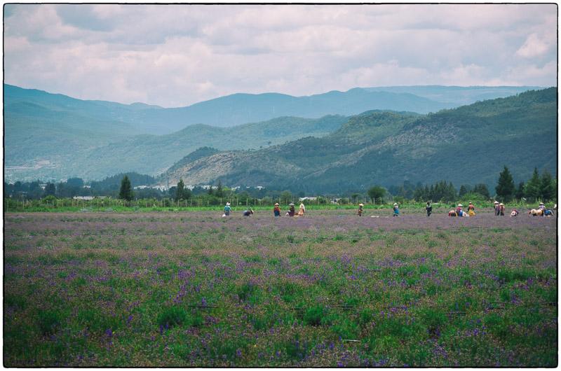 Lijiang Lavender Field