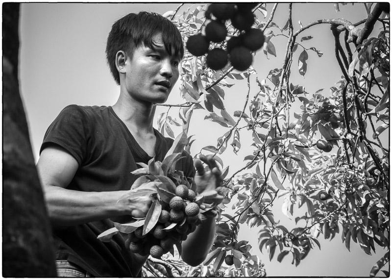 Lychee Harvest